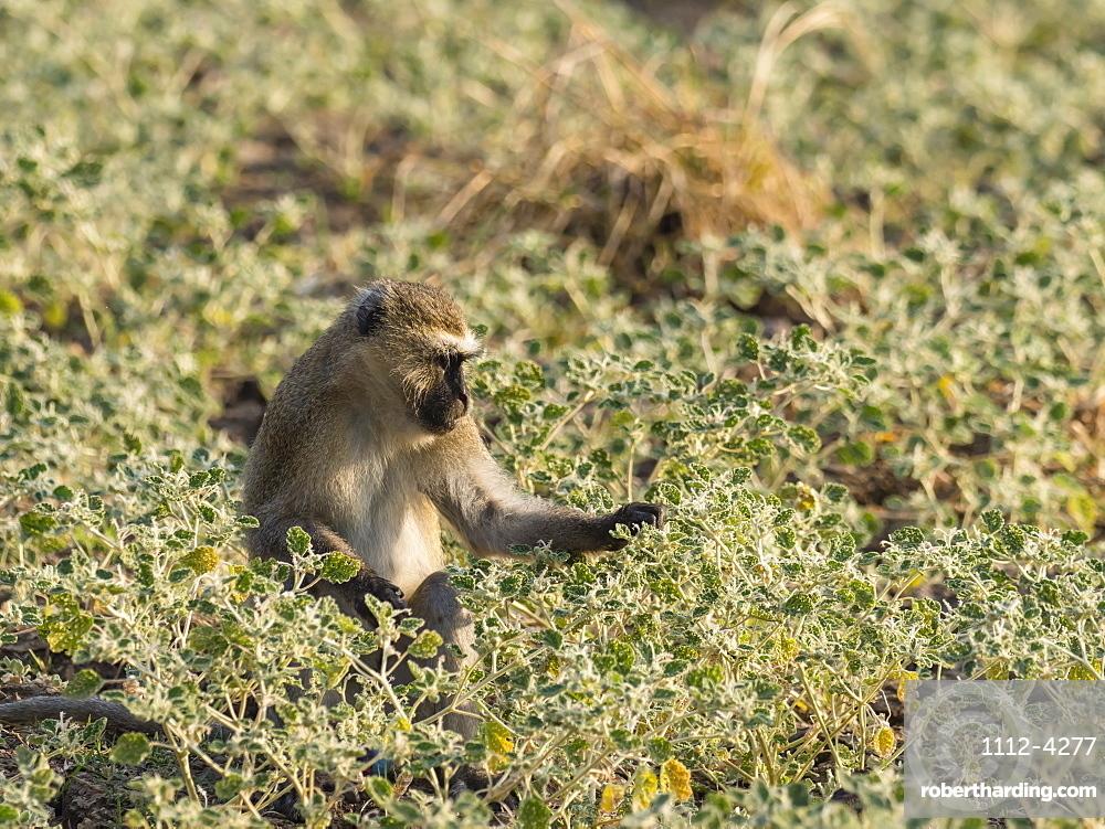 An adult vervet monkey (Chlorocebus pygerythrus), South Luangwa National Park, Zambia, Africa