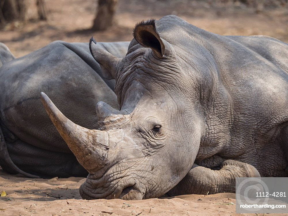 An adult southern white rhinoceros (Ceratotherium simum simum), guarded in Mosi-oa-Tunya National Park, Zambia, Africa