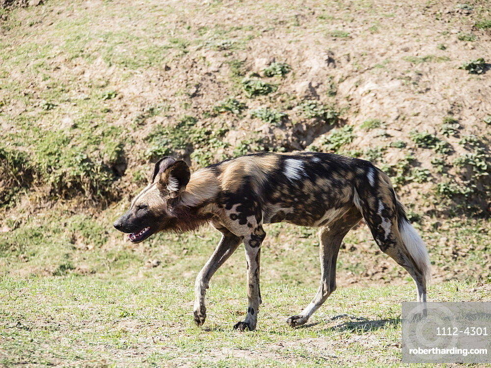 A Cape wild dog, Lycaon pictus pictus, listed as Endangered, South Luangwa National Park, Zambia,