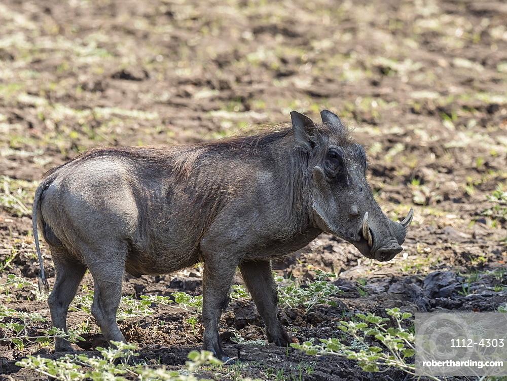 An adult male warthog, Phacochoerus africanus, South Luangwa National Park, Zambia.