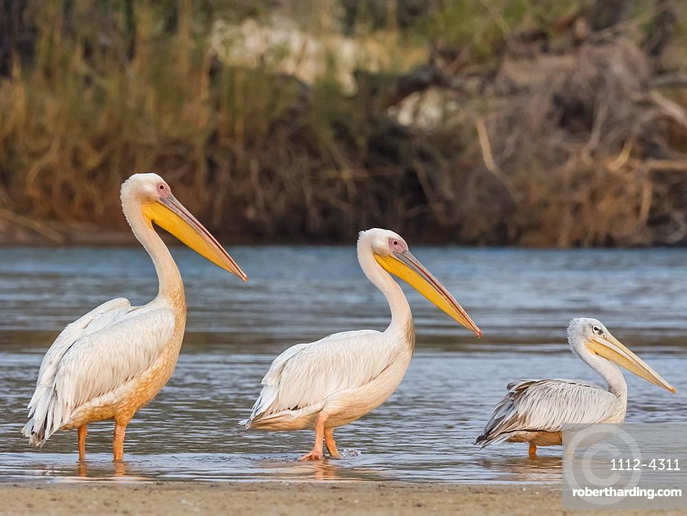 Adult great white pelicans, Pelecanus onocrotalus, on the Zambezi River, Mosi-oa-Tunya National Park, Zambia.