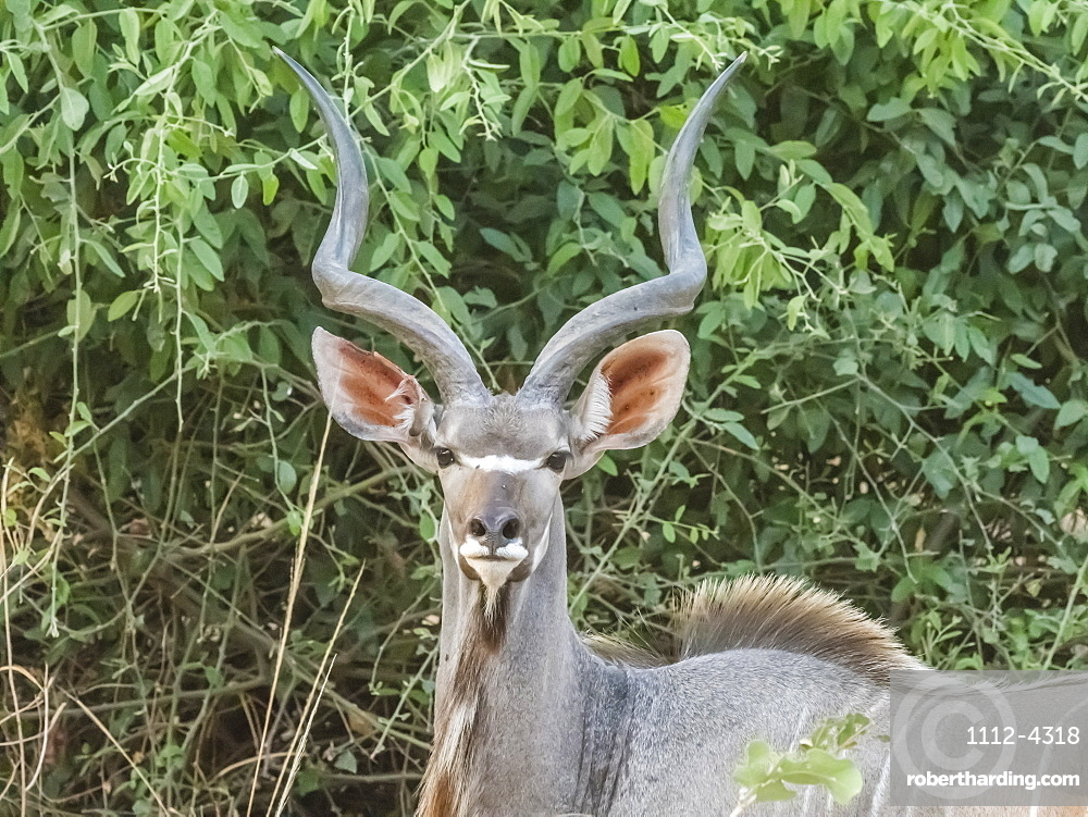 An adult male greater kudu, Tragelaphus strepsiceros, in South Luangwa National Park, Zambia.