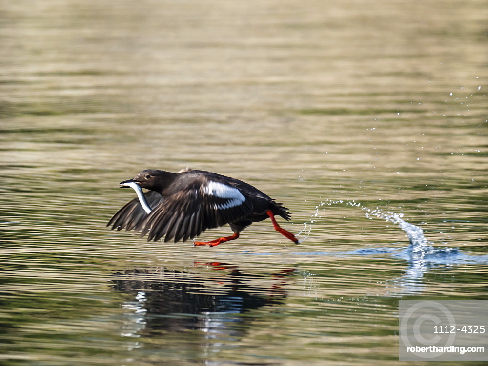 An adult pigeon guillemot (Cepphus columba) taking flight with a fish in Geographic Bay, Katmai National Park, Alaska, United States of America, North America