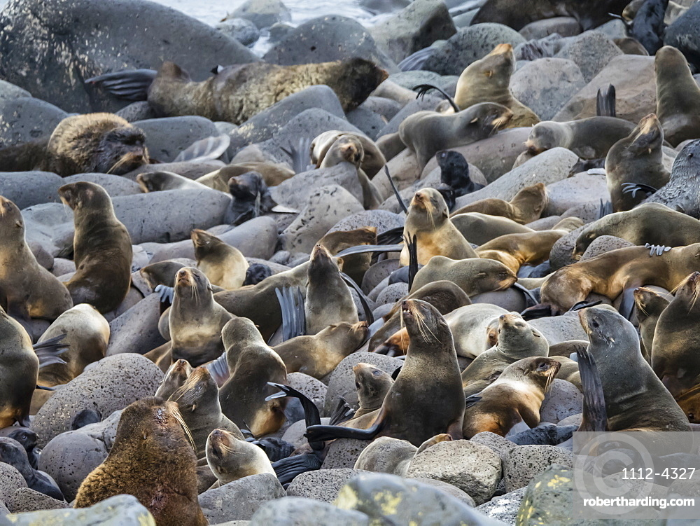 Breeding colony of northern fur seals (Callorhinus ursinus) on St. Paul Island, Pribilof Islands, Alaska, United States of America, North America