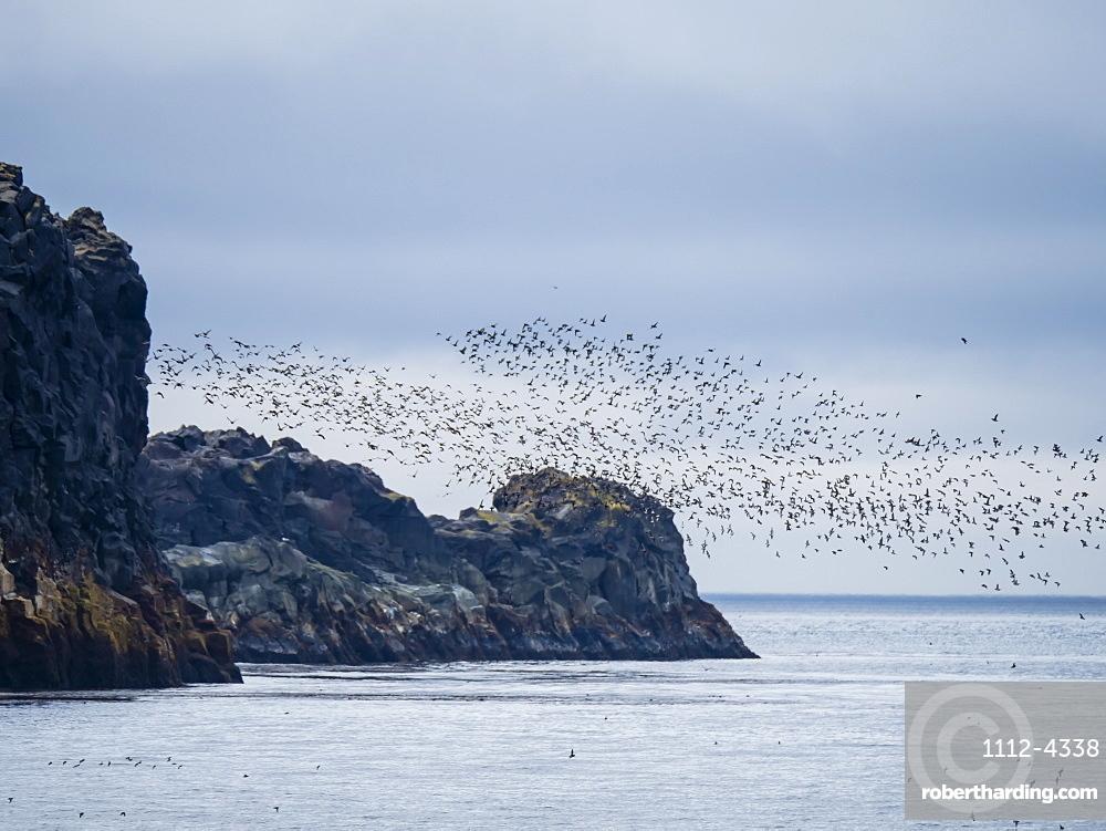 Flocks of seabirds take flight along the shores of Kiska Island, Aleutians, Alaska.