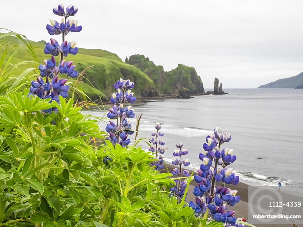 Wild Nootka lupine (Lupinus nootkatensis), in the Kagamil Island, Aleutians, Alaska, United States of America, North America