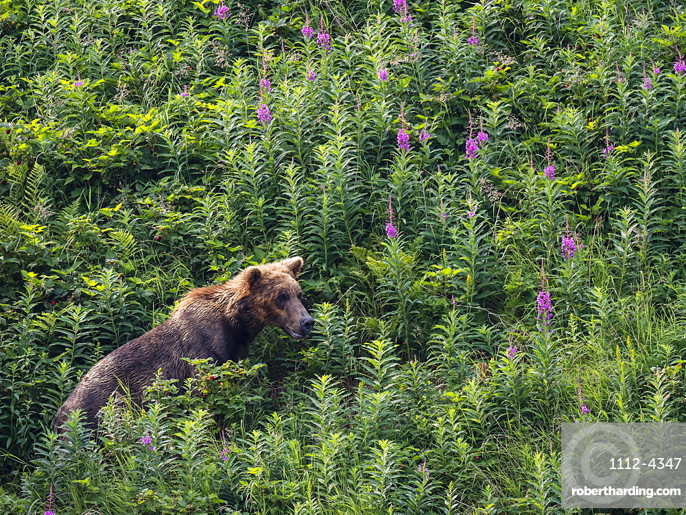 An adult brown bear (Ursus arctos), in Geographic Harbor, Katmai National Park, Alaska, United States of America, North America