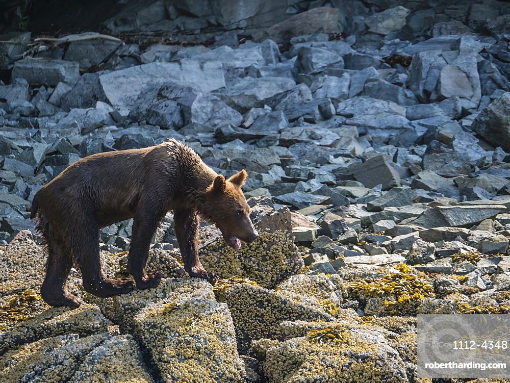 An young brown bear, Ursus arctos, in Geographic Harbor, Katmai National Park, Alaska, USA.