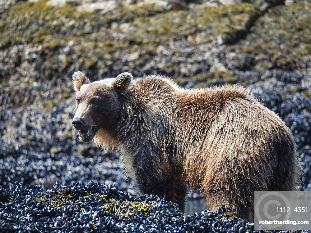 Young brown bear, Ursus arctos, feeding at low tide in Geographic Harbor, Katmai National Park, Alaska, USA.