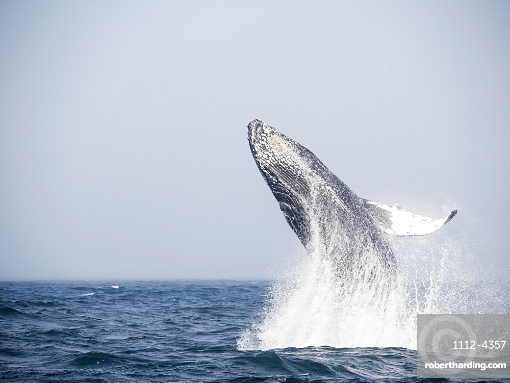 Humpback whale, Megaptera novaeangliae, breaching in Monterey Bay National Marine Sanctuary, California, USA.