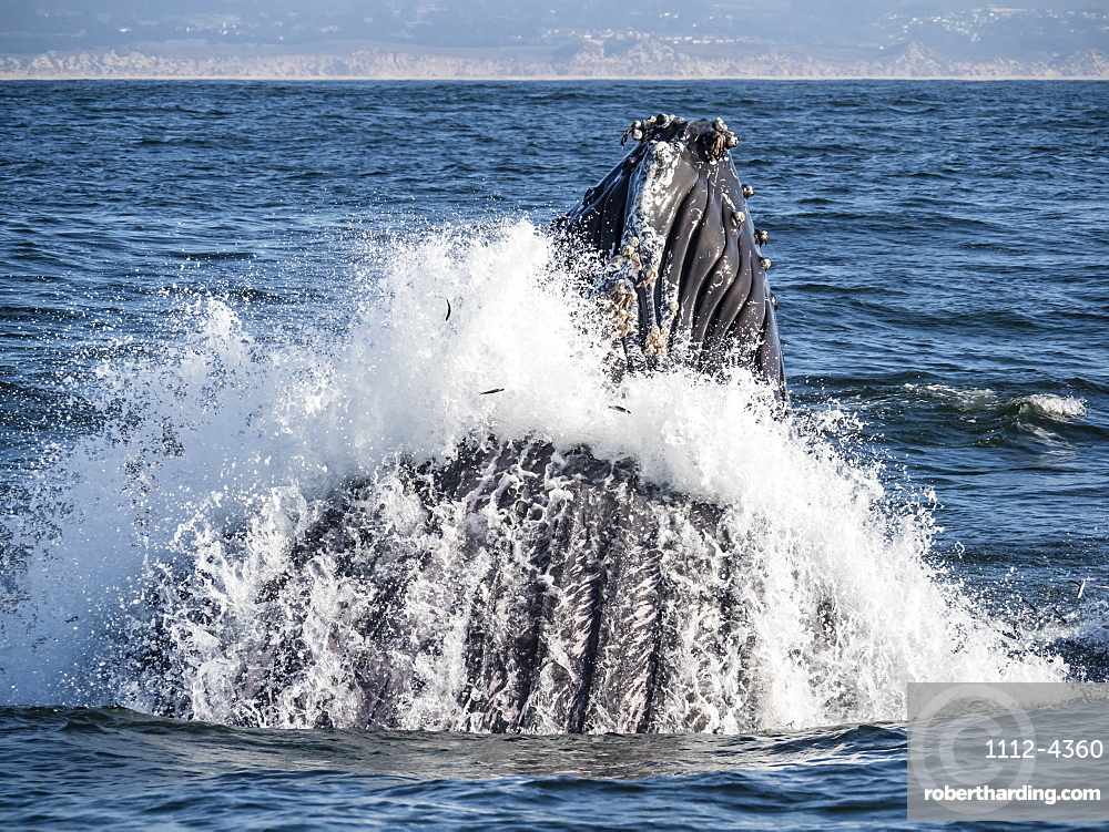 Humpback whale, Megaptera novaeangliae, lunge-feeding in Monterey Bay National Marine Sanctuary, California, USA.