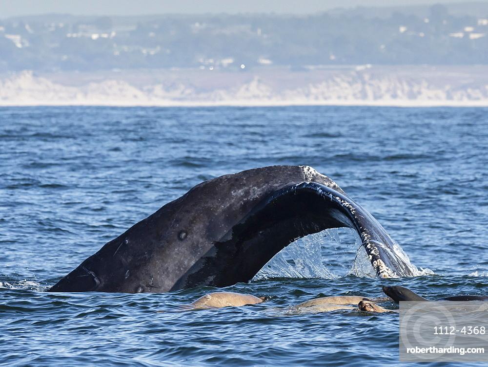California sea lions, Zalophus californianus, with humpback whale, Monterey Bay National Marine Sanctuary, California, USA.