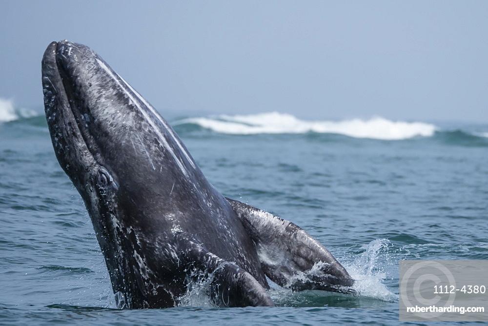 California gray whale calf (Eschrichtius robustus), breaching in San Ignacio Lagoon, Baja California Sur, Mexico, North America