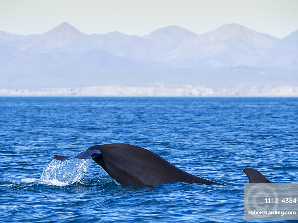Short-finned pilot whale, Globicephala macrorhynchus, tail-lobbing off Isla San Marcos, Baja California Sur, Mexico.