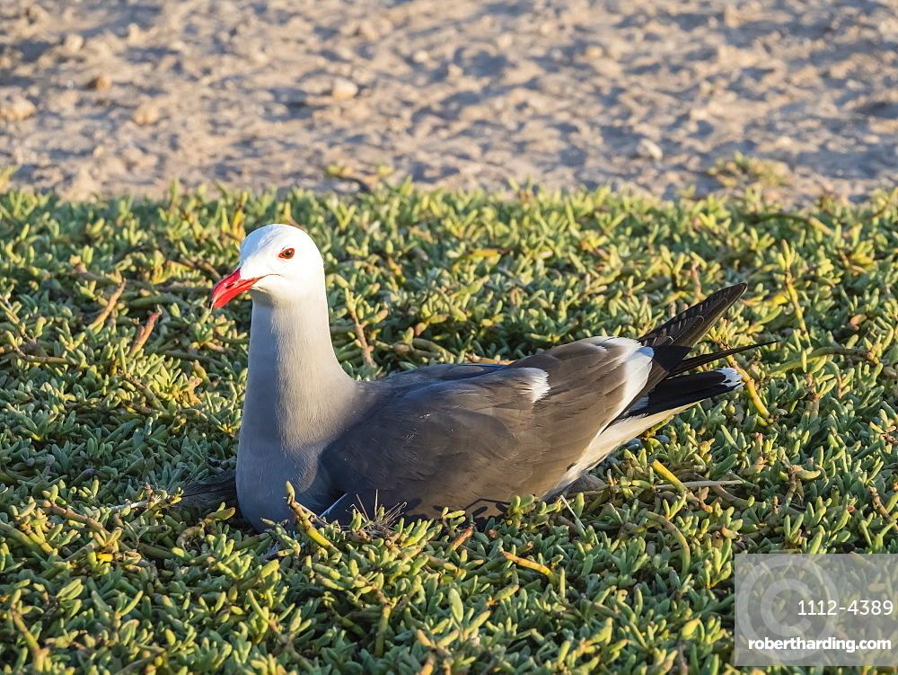 Adult Heermann's gull, Larus heermanni, at nesting site on Isla Rasa, Baja California, Mexico.