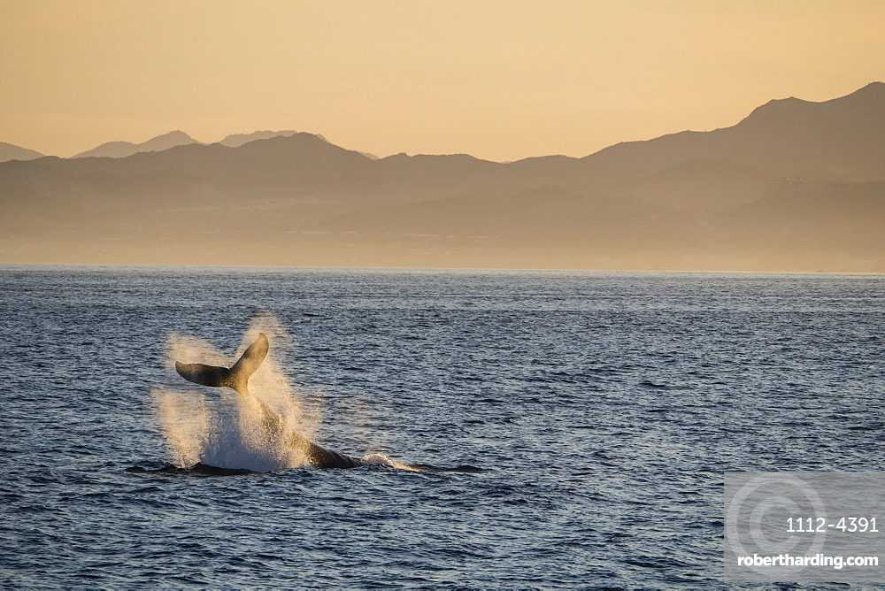 Adult humpback whale, Megaptera novaeangliae, tail-lobbing at Los Cabos, Baja California Sur, Mexico.