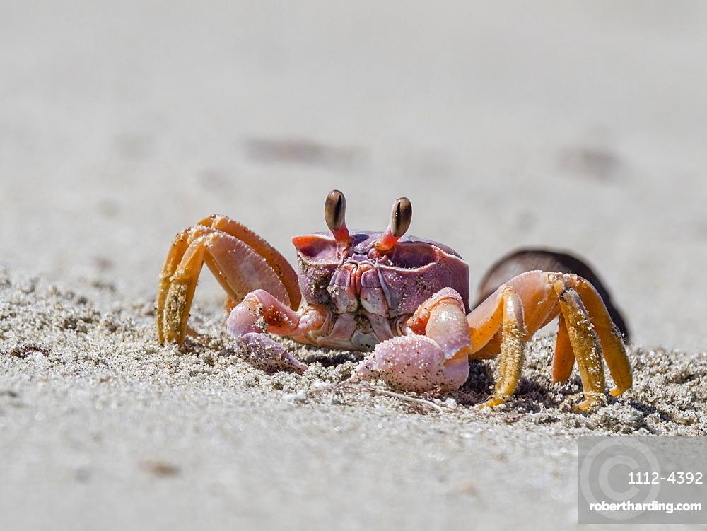 Ghost crab, Ocypode spp, near burrow on Sand Dollar Beach, Magdalena Island, Baja California Sur, Mexico.