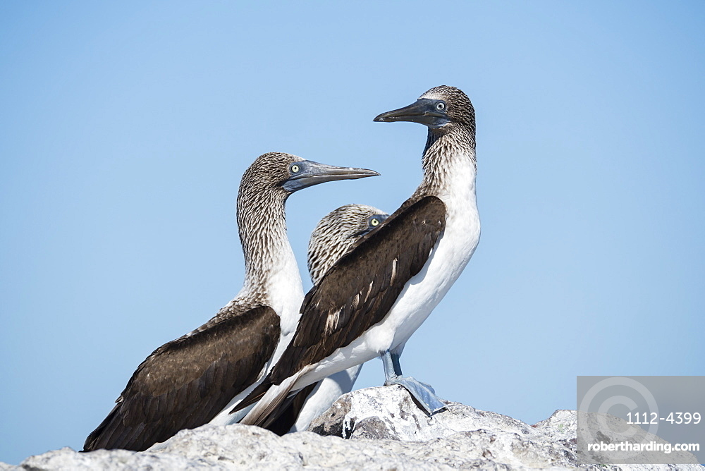 Three adult blue-footed boobies, Sula nebouxii, on Isla San Marcos, Baja California Sur, Mexico.