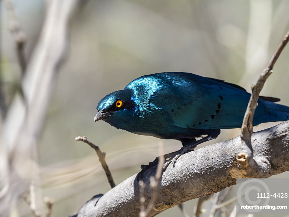 Adult greater blue-eared starling (Lamprotornis chalybaeus), in Chobe National Park, Botswana, Africa