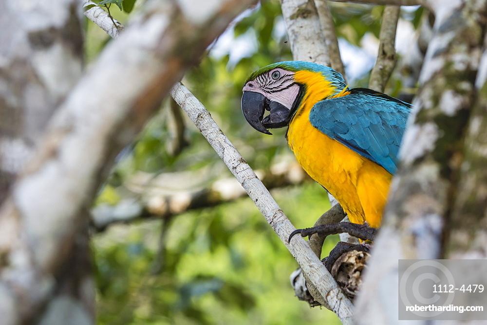 Adult blue-and-yellow macaw (Ara ararauna), Amazon National Park, Upper Amazon River Basin, Loreto, Peru, South America