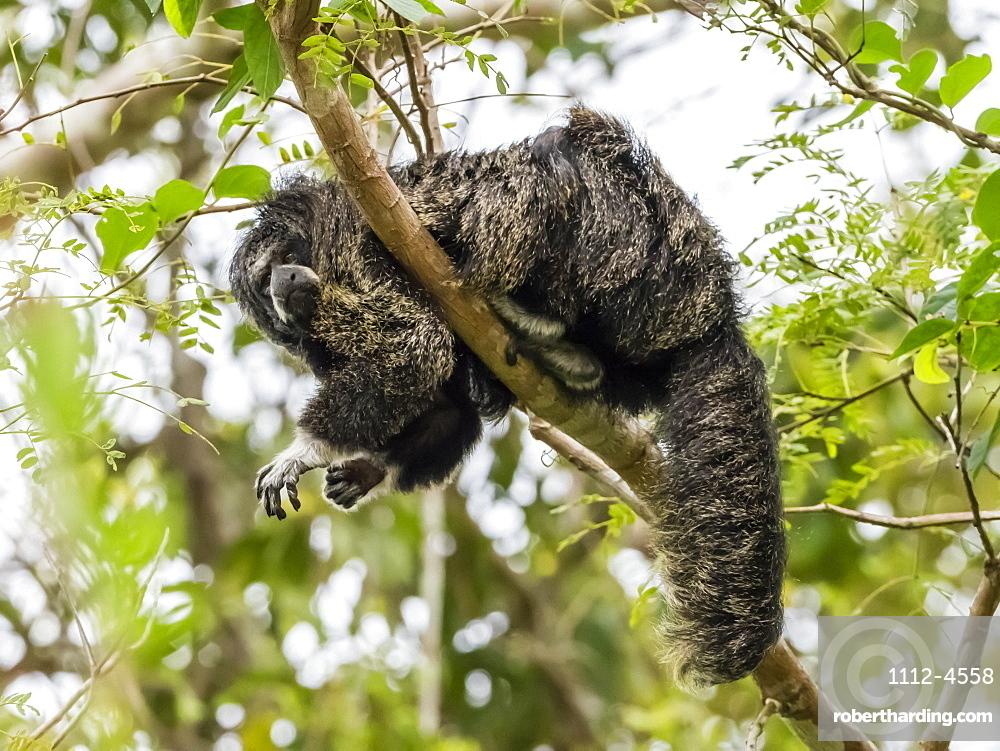 An adult monk saki monkey (Pithecia monachus), near the Oxbow lake Atun Poza, Iquitos, Peru, South America