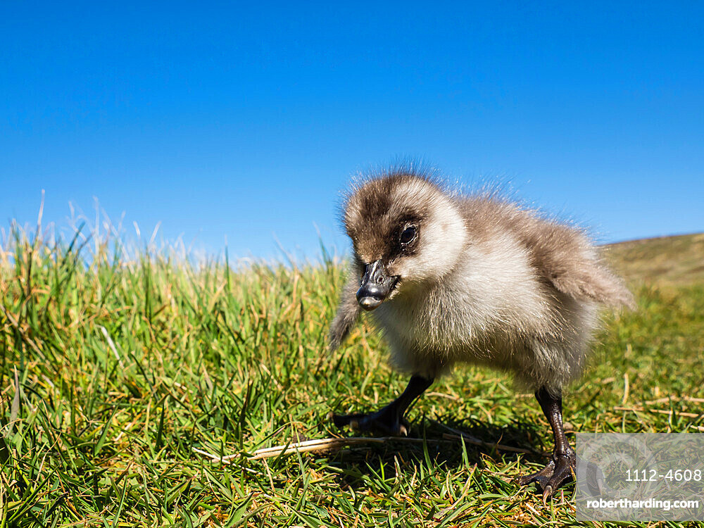 Upland goose gosling (Chloephaga picta) on New Island, Falkland Islands, South America