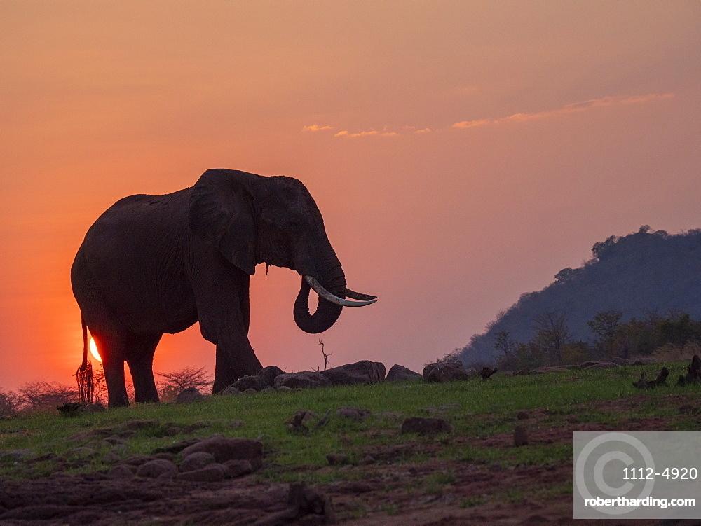 A adult African bush elephant, Loxodonta africana, at sunset on the shore of Lake Kariba, Zimbabwe.