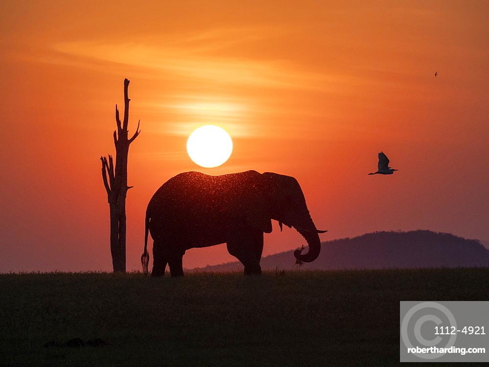An adult African bush elephant, Loxodonta africana, at sunset on the shoreline of Lake Kariba, Zimbabwe.