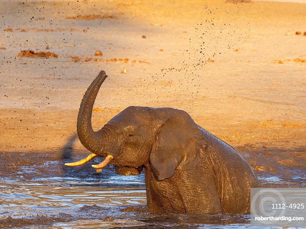 African bush elephant calf, Loxodonta africana, playing in a watering hole in Hwange National Park, Zimbabwe.