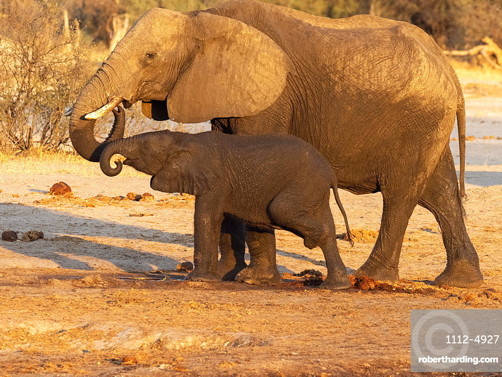 African bush elephant mother and calf, Loxodonta africana, at a watering hole in Hwange National Park, Zimbabwe.