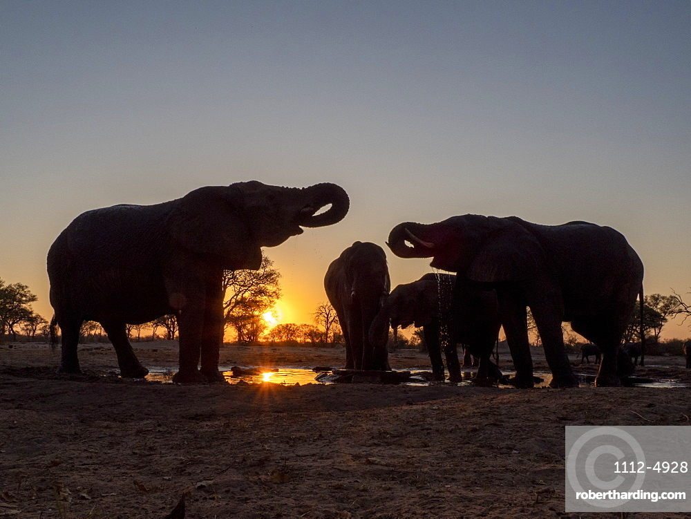 A small herd of African bush elephants, Loxodonta africana, at sunset in Hwange National Park, Zimbabwe.