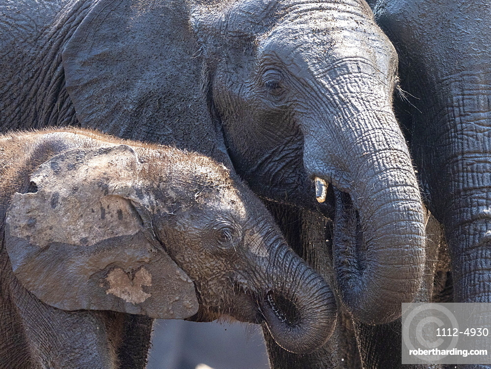 African bush elephant mother and calf, Loxodonta africana, in Hwange National Park, Zimbabwe.