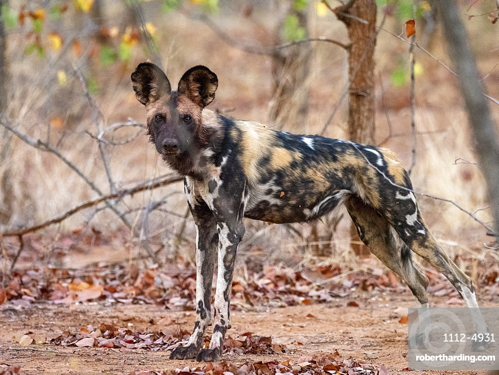 An adult African wild dog, Lycaon pictus, at a den site in the Savé Valley Conservancy, Zimbabwe.