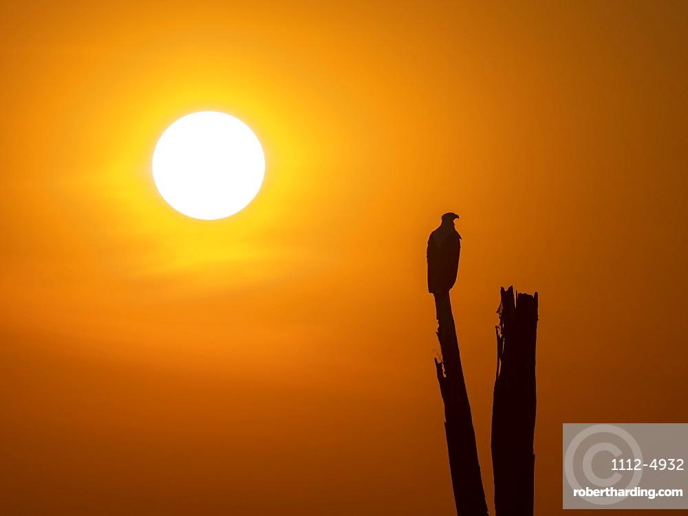 An adult African fish eagle, Haliaeetus vocifer, perched at sunset on the shores of Lake Kariba, Zimbabwe.