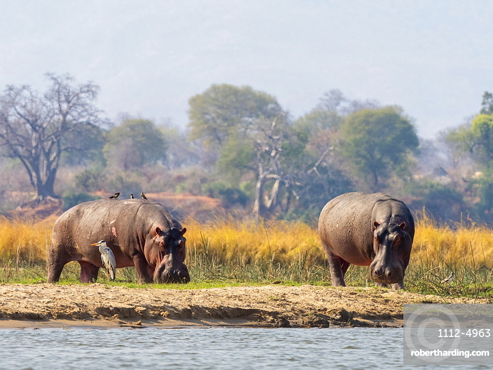 Adult hippopotamuses (Hippopotamus amphibius), near Mana Pools on the Lower Zambezi River, Zimbabwe, Africa