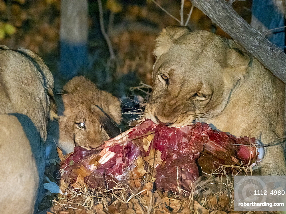 Adult lioness (Panthera leo), with cub on a fresh kill at night in the Save Valley Conservancy, Zimbabwe, Africa