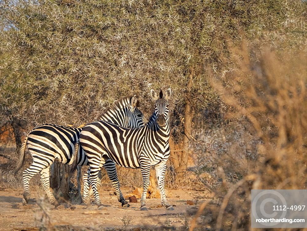 Adult plains zebras (Equus quagga), in Save Valley Conservancy, Zimbabwe, Africa
