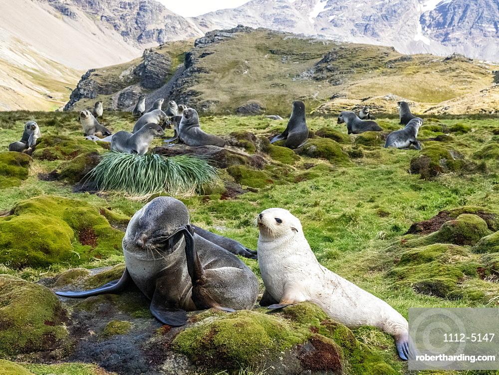 Juvenile leucistic Antarctic fur seal (Arctocephalus gazella), with its mother in Stromness Harbor, South Georgia, Polar Regions