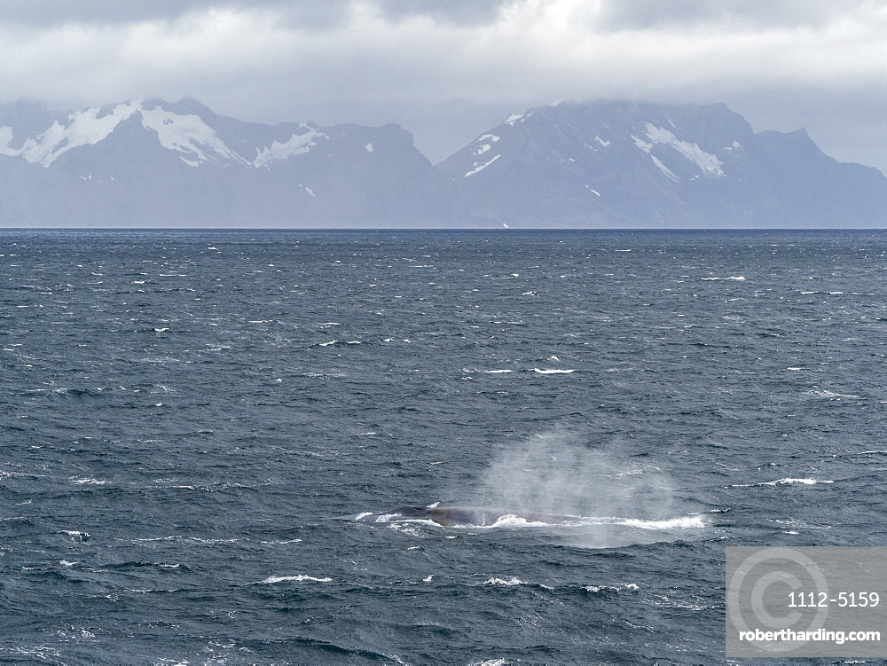 Adult blue whale (Balaenoptera musculus) feeding in Right Whale Bay, South Georgia, Polar Regions