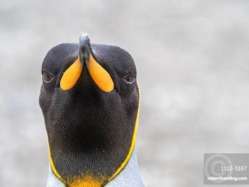 King penguin (Aptenodytes patagonicus) head detail at its breeding colony at Gold Harbor, South Georgia, Polar Regions