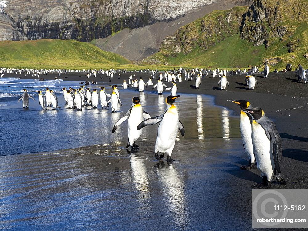 King penguin (Aptenodytes patagonicus) adults returning to sea for feeding in Gold Harbor, South Georgia, Polar Regions