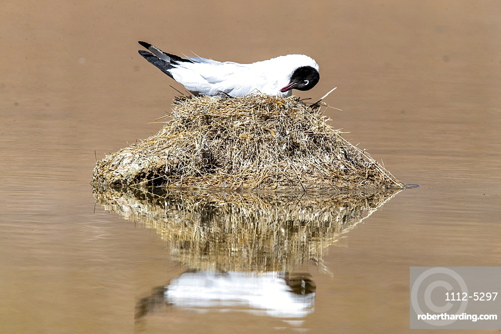Andean gull (Chroicocephalus serranus) on its nest in a lagoon, Andean Central Volcanic Zone, Chile, South America