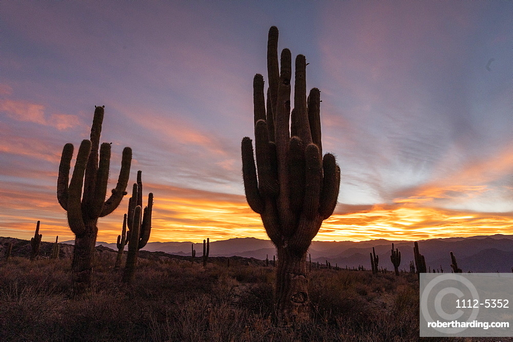 Sunset on Argentine saguaro cactus (Echinopsis terscheckii), Los Cardones National Park, Salta Province, Argentina, South America