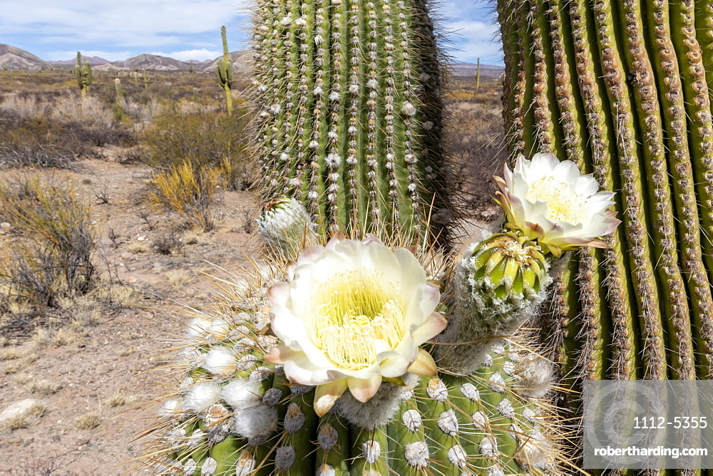 Argentine saguaro cactus (Echinopsis terscheckii) in flower, Los Cardones National Park, Salta Province, Argentina, South America