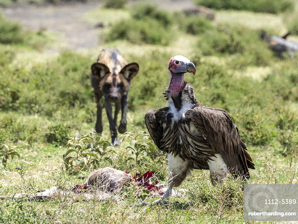 African wild dog (Lycaon pictus), pushing a lappet-faced vulture off kill in Serengeti National Park, Tanzania, East Africa, Africa