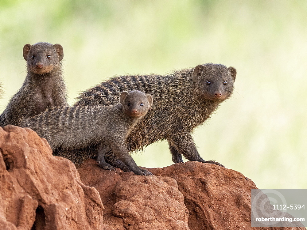 A pack of banded mongooses (Mungos mungo), in their den site in Tarangire National Park, Tanzania, East Africa, Africa