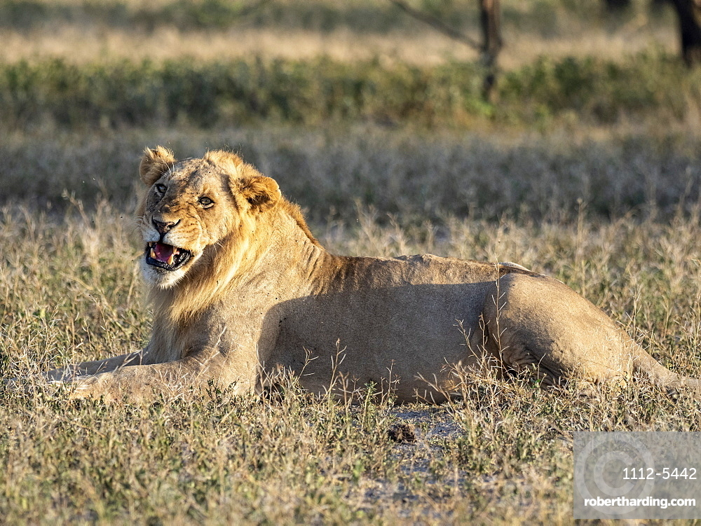 A male lion (Panthera leo), Serengeti National Park, Tanzania, East Africa, Africa