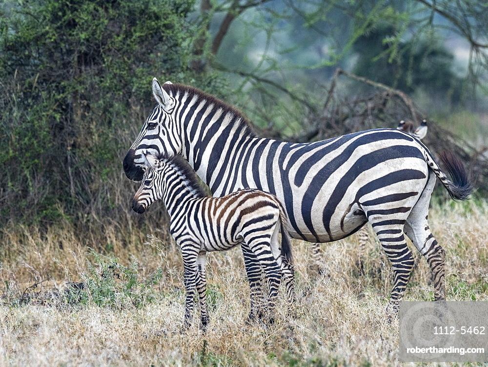 Plains zebra (Equus quagga), mother and colt, Serengeti National Park, Tanzania, East Africa, Africa
