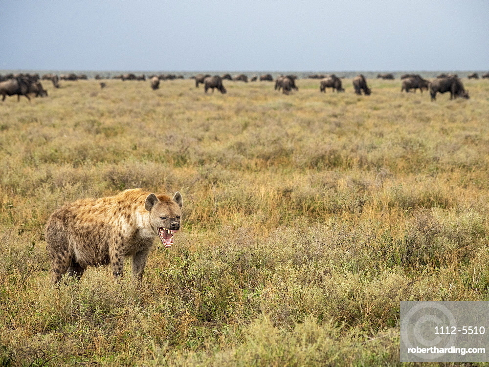 Adult spotted hyena (Crocuta crocuta), with wildebeests in Serengeti National Park, UNESCO World Heritage Site, Tanzania, East Africa, Africa