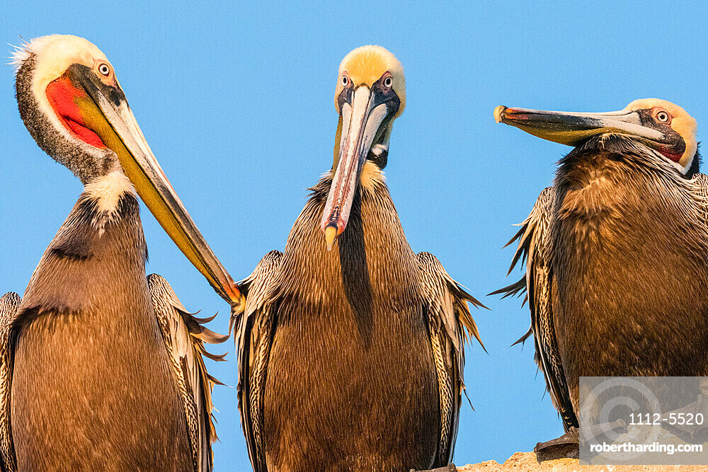 Brown pelicans (Pelecanus occidentalis) at a fish processing plant, Puerto San Carlos, Baja California Sur, Mexico, North America